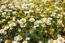 Kamillenblumen Feld